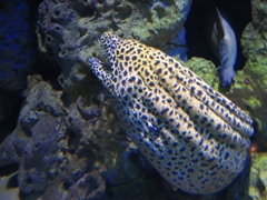 A close up view of a spotted moray eel