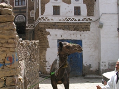 Camel taking a breather from grinding sesame seeds, Old Sana'a