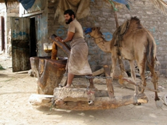 Yemeni man and his camel grinding sesame seeds to oil, Marib
