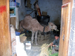 Camel grinding sesame seeds into oil, Sana'a
