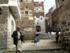 Livestock feeding in an alcove maze of old Sana'a