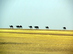 Camel mirage, Safer Desert
