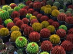 Colorful cacti for sale; Masafi Market