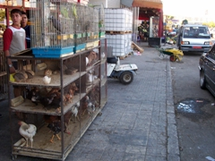 Chickens for sale by the roadside, Tyre