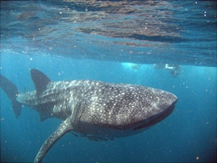 Swimming with a juvenile whale shark in the Gulf of Tadjoura; Djibouti