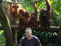 Robby with orangutans at the Singapore zoo