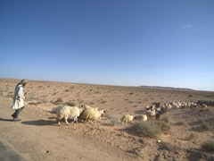 Pausing to allow a sheep herder to cross the road