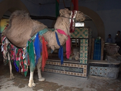 The poor camel that draws water from Bir Barouta