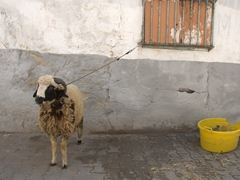 This poor sheep didn't have much longer to live; Tunis medina