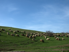 Dozens of sheep grazing the countryside