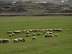 Sheep grazing at the base of Hayravank Monastery